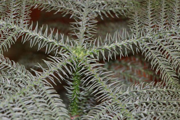 Araucaria heterophylla, Zimmertanne ist unter vielen Namen bekannt