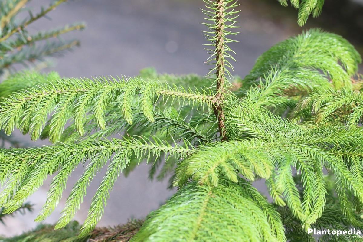 Araucaria heterophylla wächst als Zimmerpflanze bis zu 2 Meter hoch