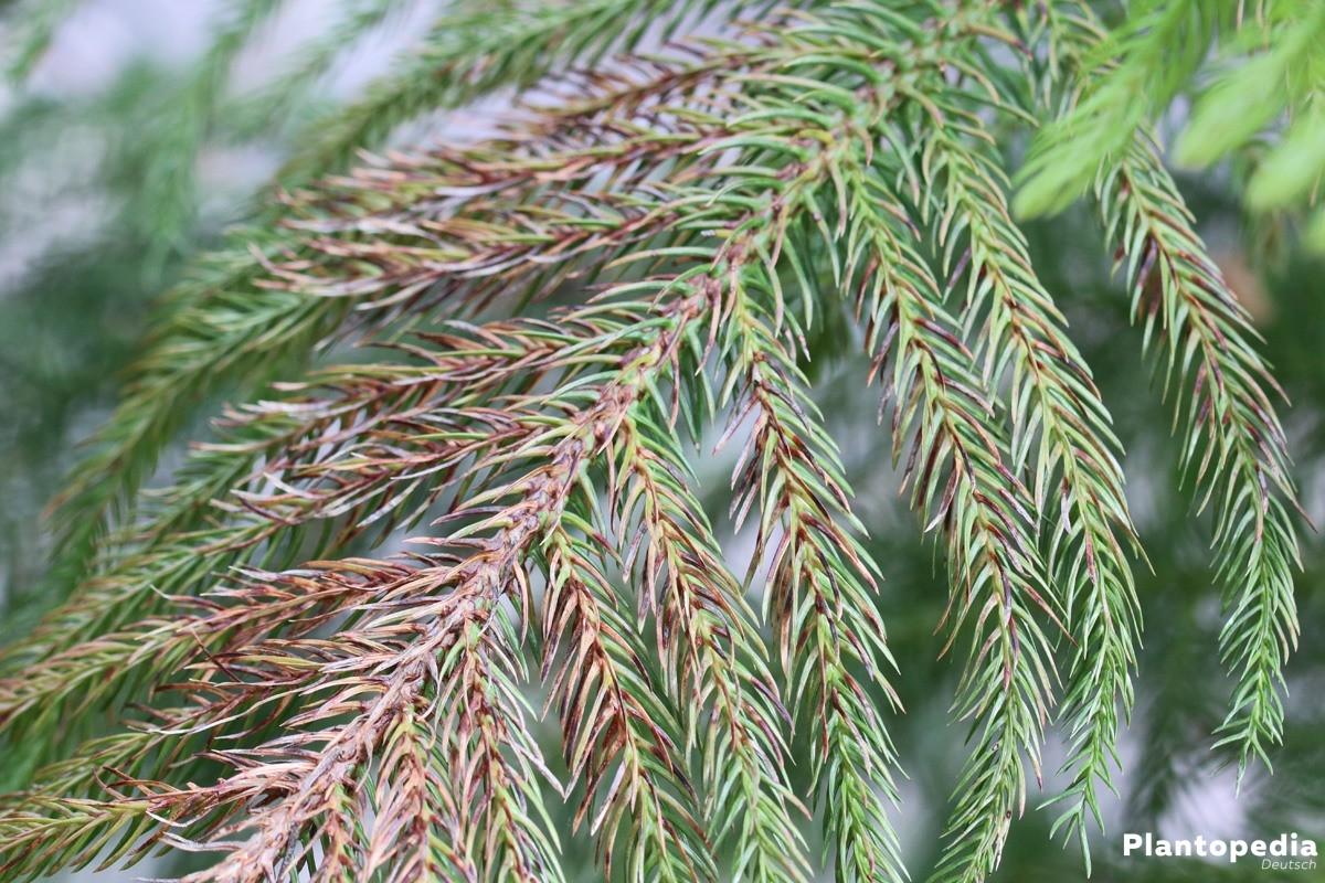 Araucaria heterophylla bringt ein Stück Natur in geschlossene Räume