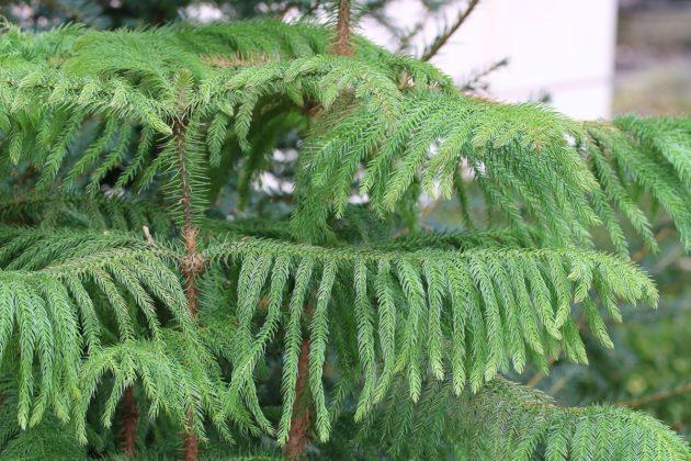 Araucaria heterophylla, Zimmertanne liebt frostfreies und mildes Klima