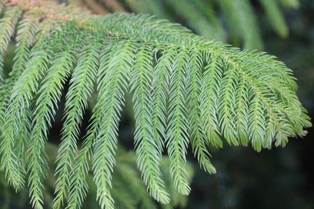 Araucaria heterophylla mit dunkelgrünen bis hellgrünen Nadeln