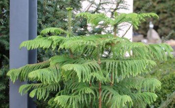 Araucaria heterophylla, Zimmertanne