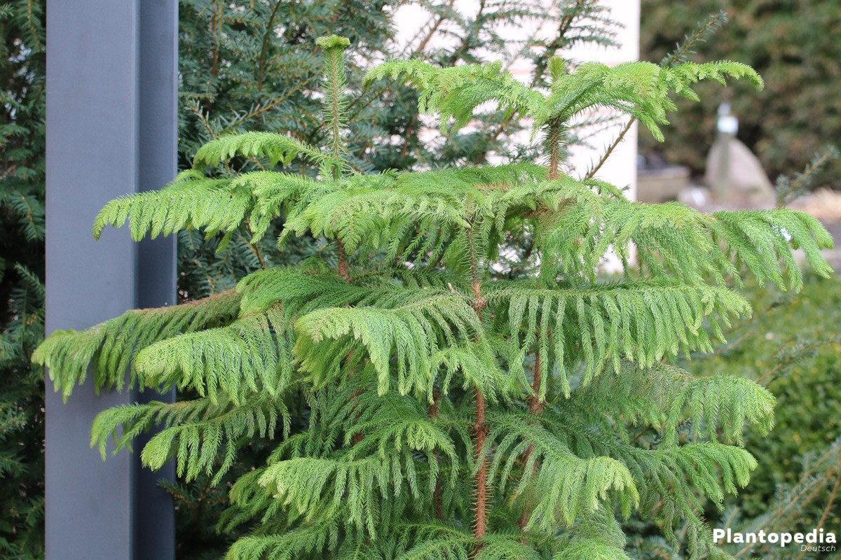 Home Depot Norfolk Island Pine