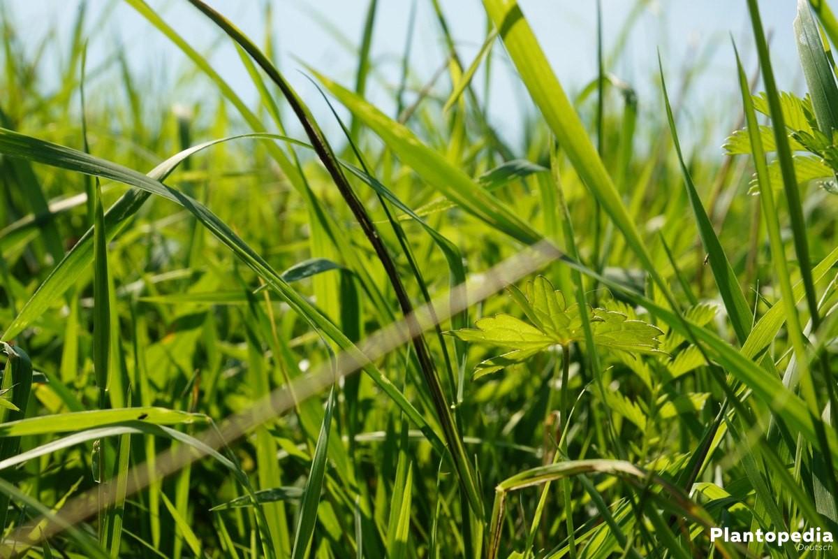 Rasen im saftigen Grün