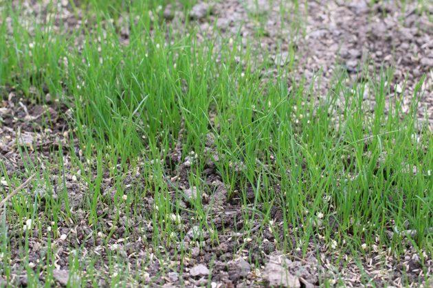 frischer Rasen wächst auf Erdboden