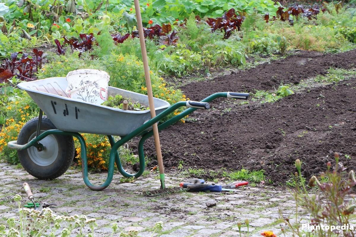 Zucchini im eigenen Garten anpflanzen
