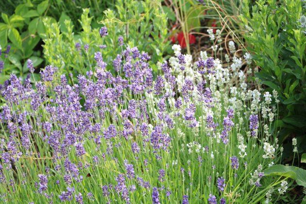Lavendelpflanze für die Kräuterschneckenbepflanzung