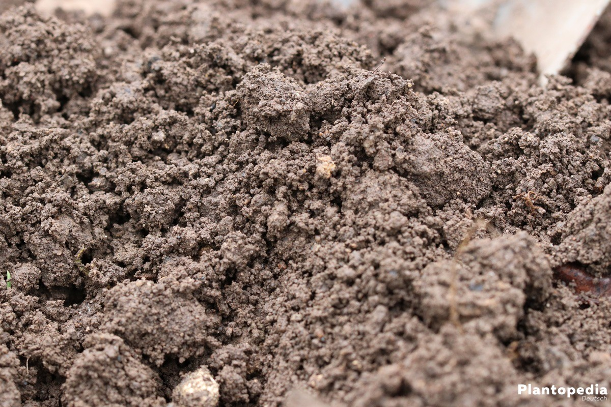 Substrat für die Pflanzung von Süßkartoffeln