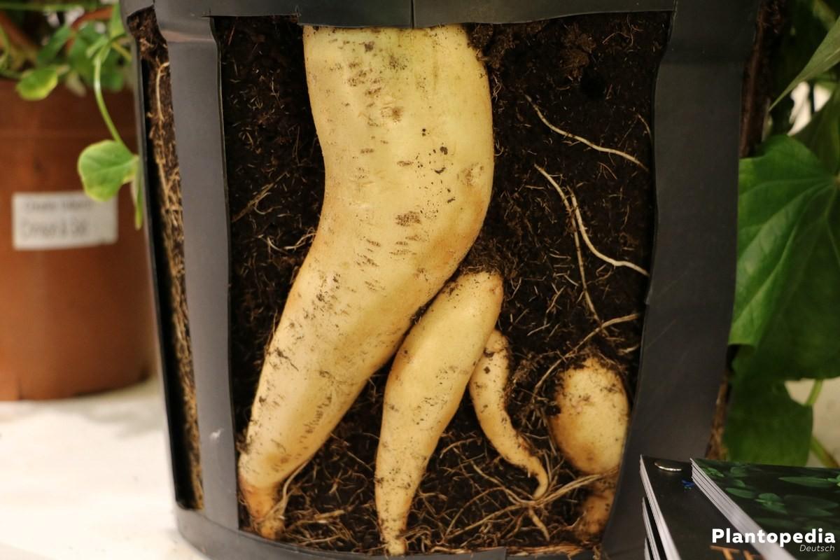 Süßkartoffeln in der Erde