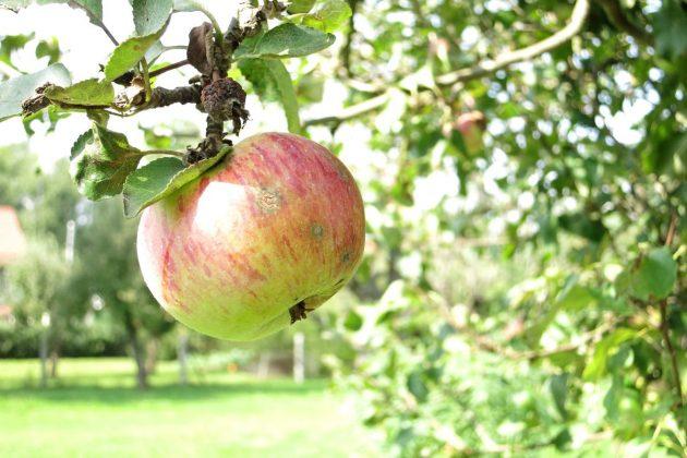 Apfel am Apfelbaum