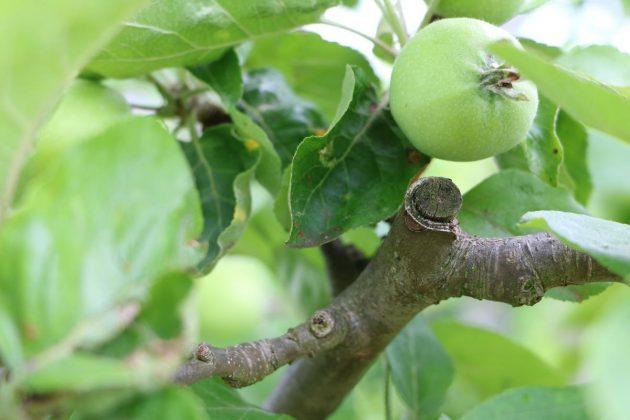 reifende Apfelfrucht am Baum