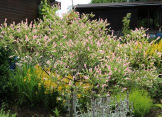 Harlekinweide, Zierweide, Salix integra