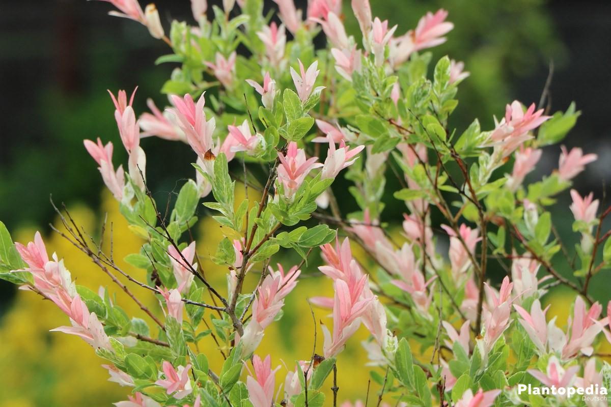 Salix integra ist auch für kleine Gärten und Balkone geeignet