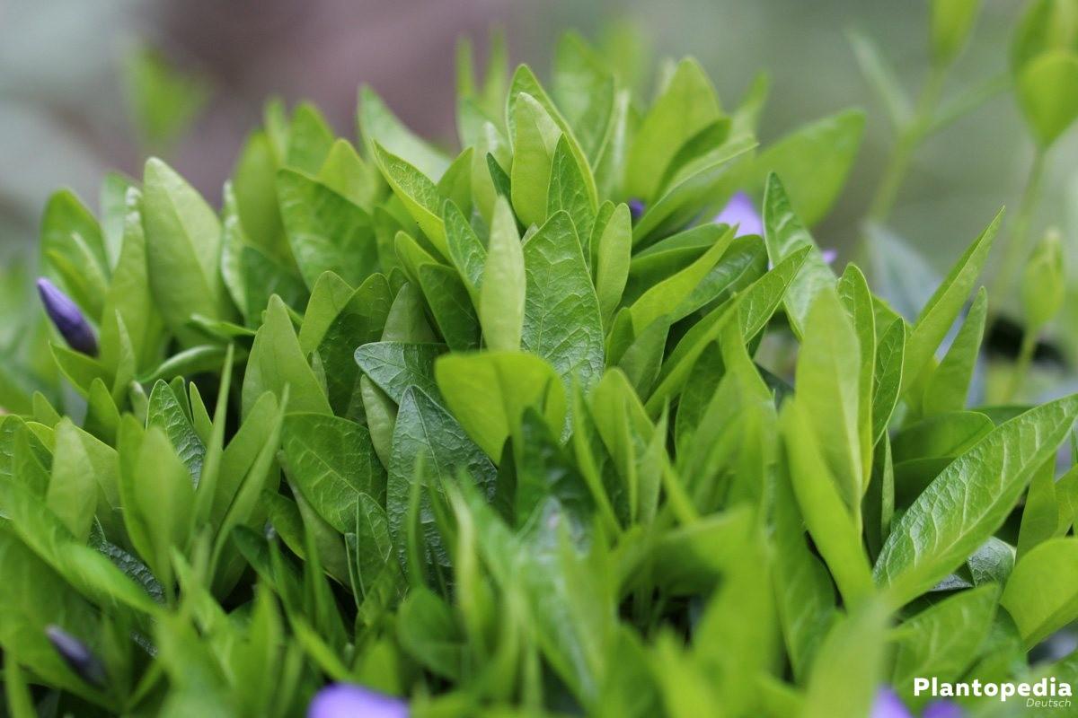 Vinca minor mit satt-grünen Blättern
