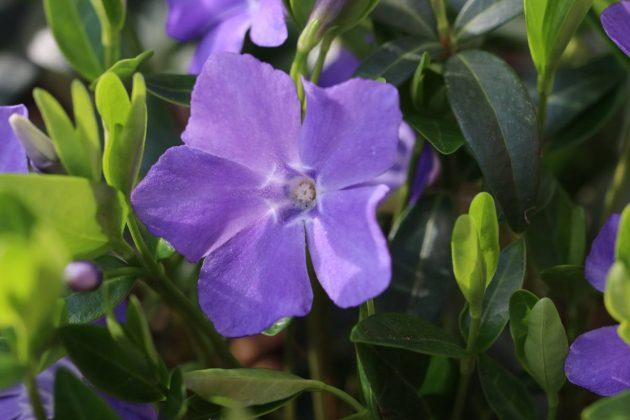 Vinca minor ist eine mehrjährige Pflanze