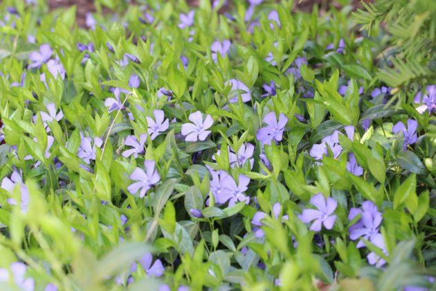 Kleines Immergrün blüht von März bis Juni