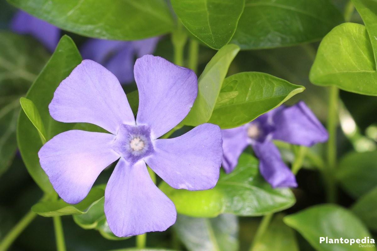 Kleines Immergrün mit blau-violetter Blüte