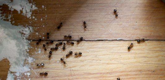 Ameisen erfolgreich bekämpfen