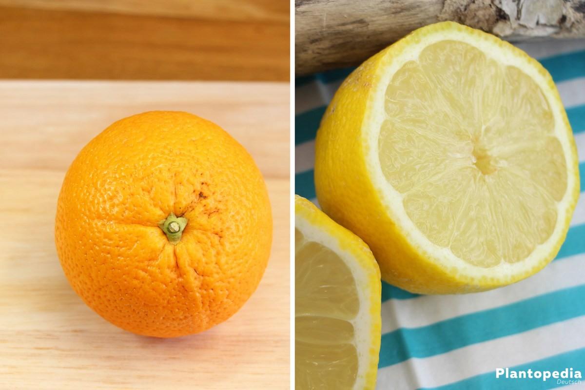 Orangen- und Zitronenschalen zur Ameisenbekämpfung