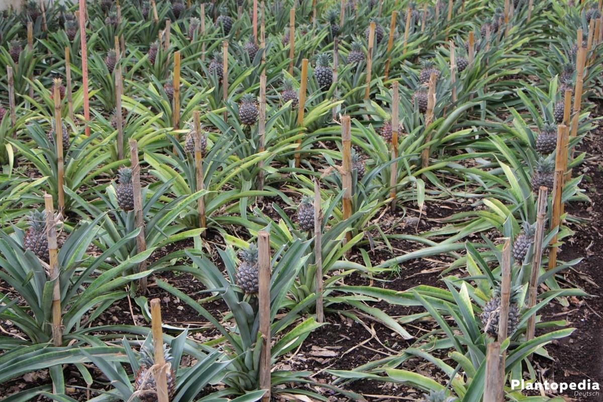 Ananas stammt aus Südamerika