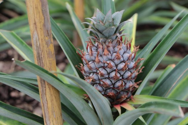 Ananas Pflanze mit Ananasfrucht