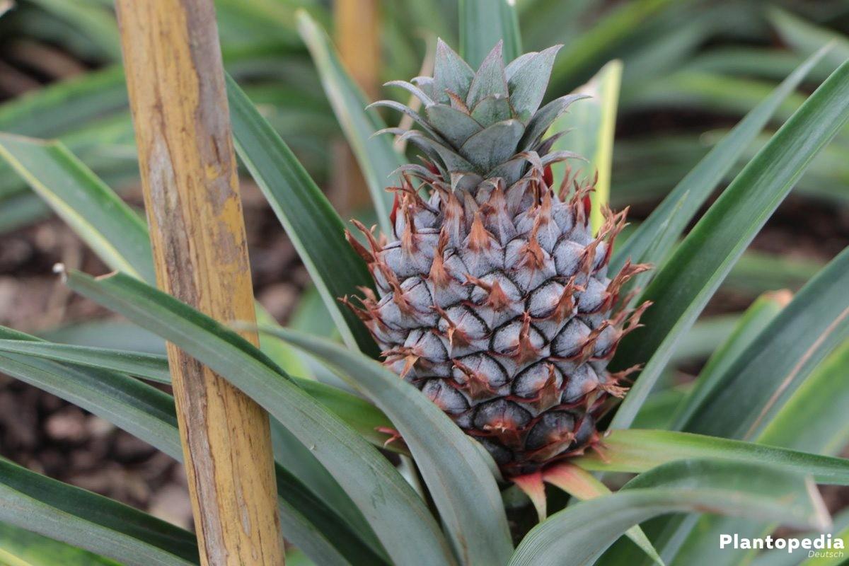 ananas pflanze selber ziehen kopf einpflanzen pflege anleitung plantopedia. Black Bedroom Furniture Sets. Home Design Ideas