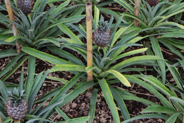 Ananas Pflanze mit bis zu 120 Zentimeter langen Blättern