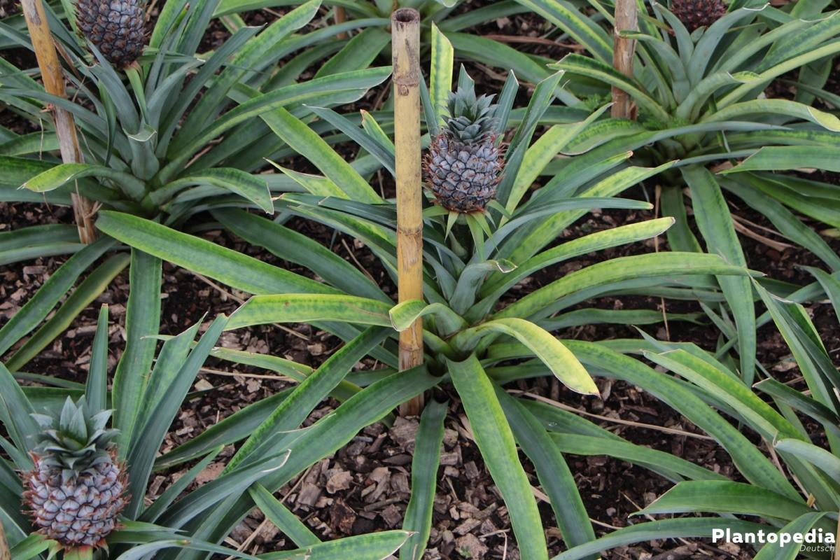 ananas pflanze selber ziehen kopf einpflanzen pflege. Black Bedroom Furniture Sets. Home Design Ideas