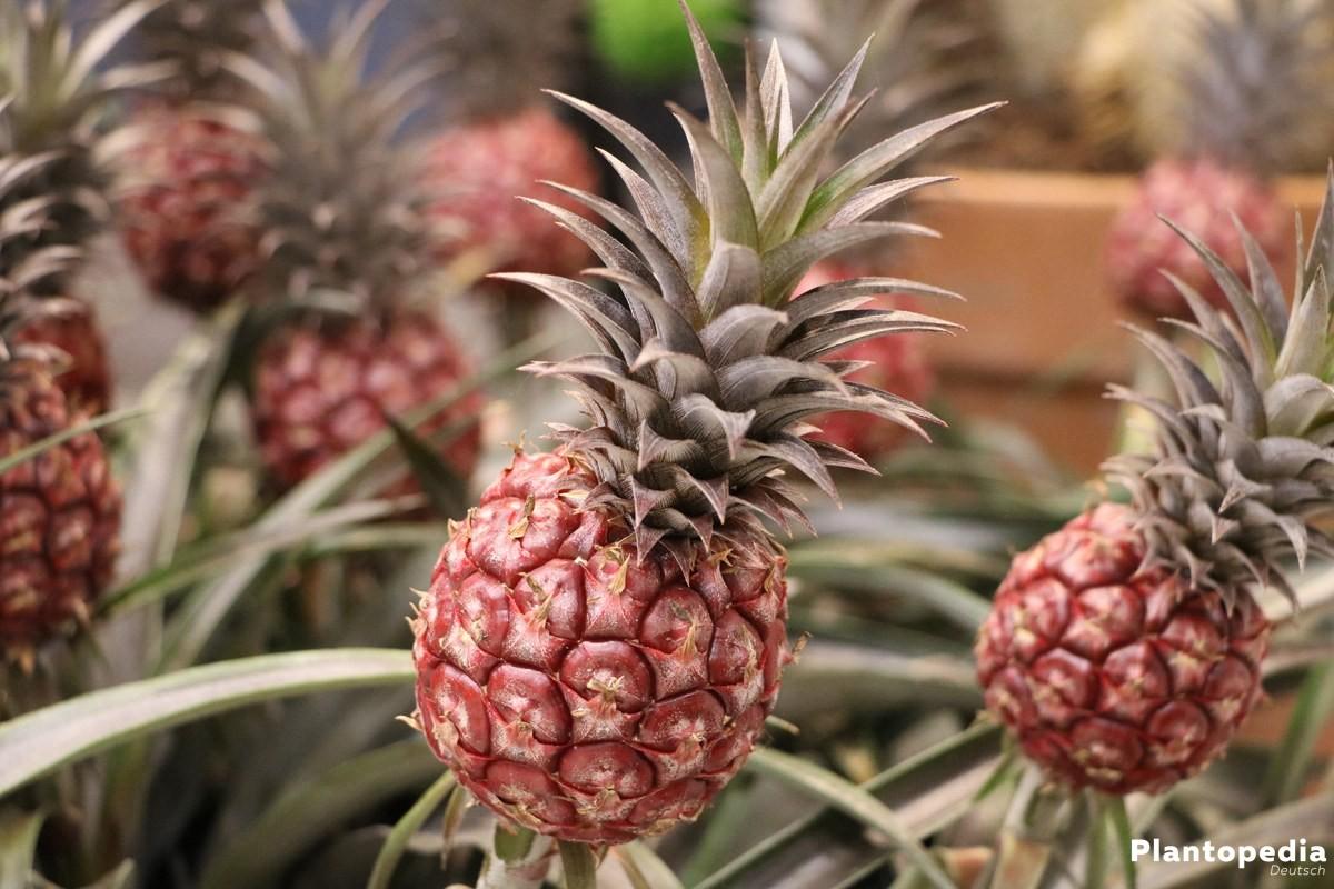 Ananas mit exotischem Anblick