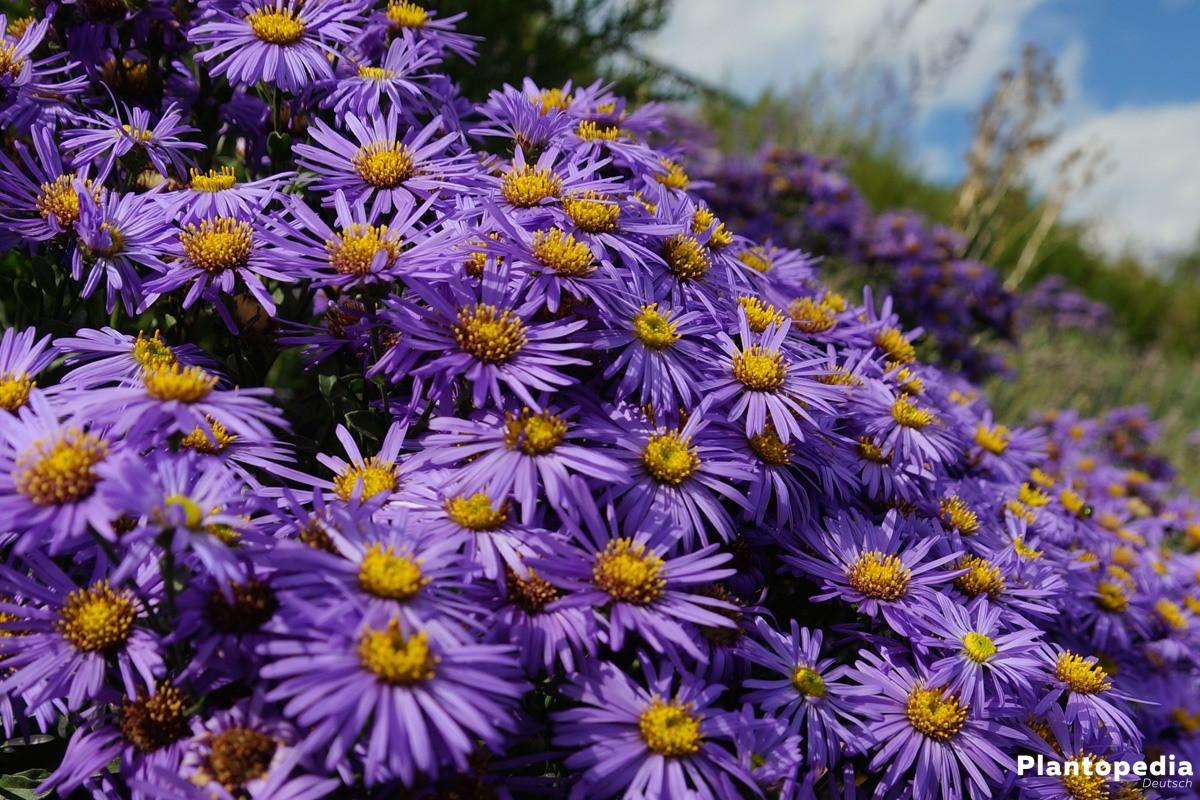 Aster gibt es in verschiedenen Blütenfarben
