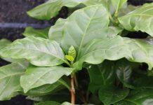 Coffea arabica, Kaffeepflanze