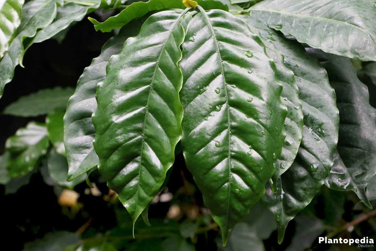 Kaffeepflanze coffea arabica kaffee selbst anbauen for Coffea arabica