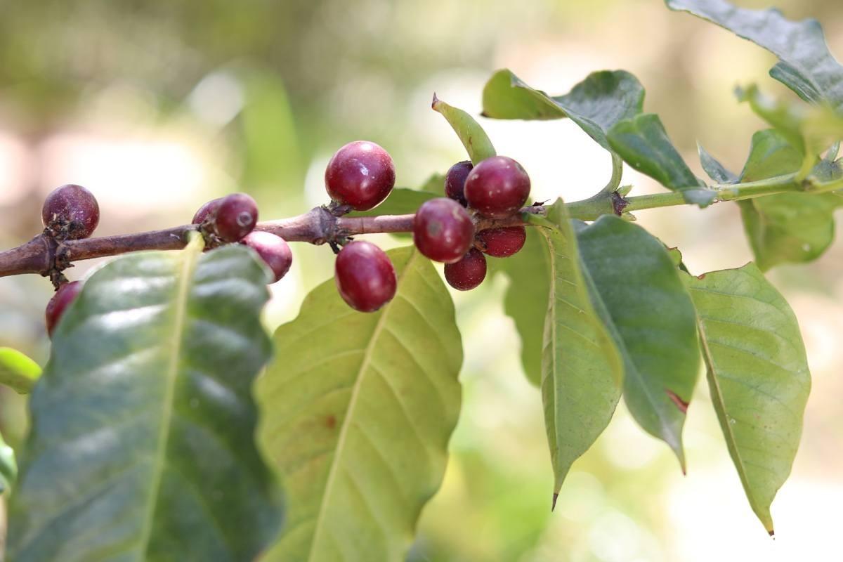 Coffea arabica ist eine exotische Schönheit