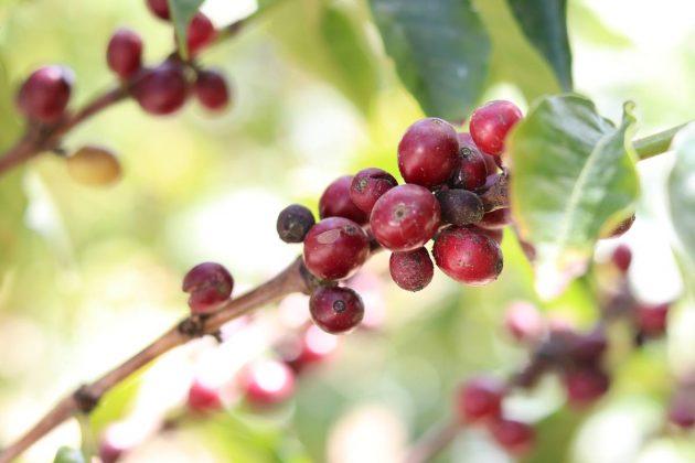 Kaffeepflanze mit roten Kaffeekirschen