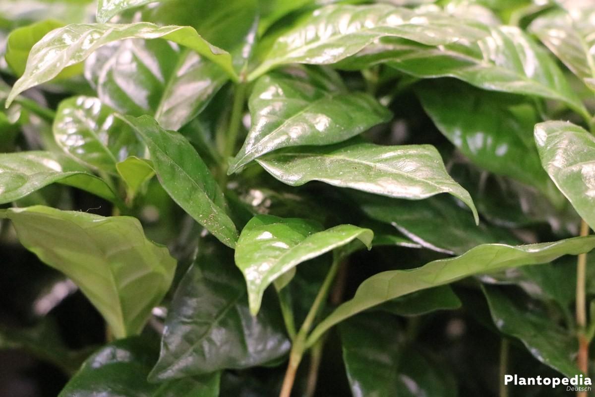 kaffeepflanze coffea arabica kaffee selbst anbauen pflege plantopedia. Black Bedroom Furniture Sets. Home Design Ideas