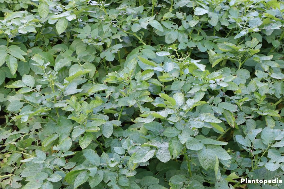Kartoffelkäfer schädigt Kartoffelpflanzen im Beet