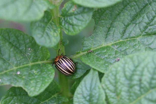 Kartoffelkäfer auch Colorado-Käfer genannt