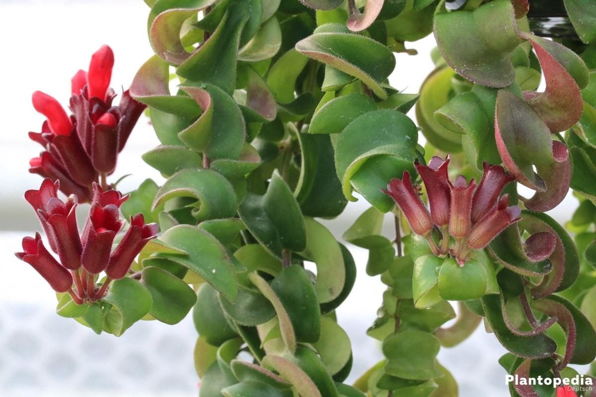 Zimmerpflanzen Für Dunkle Standorte zimmerpflanzen die wenig licht brauchen grüne und blühende