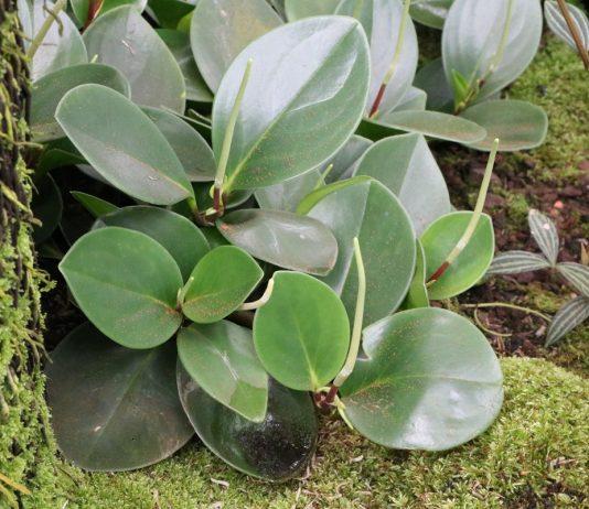 Zierpfeffer, Zwergpfeffer, Peperomia obtusifolia