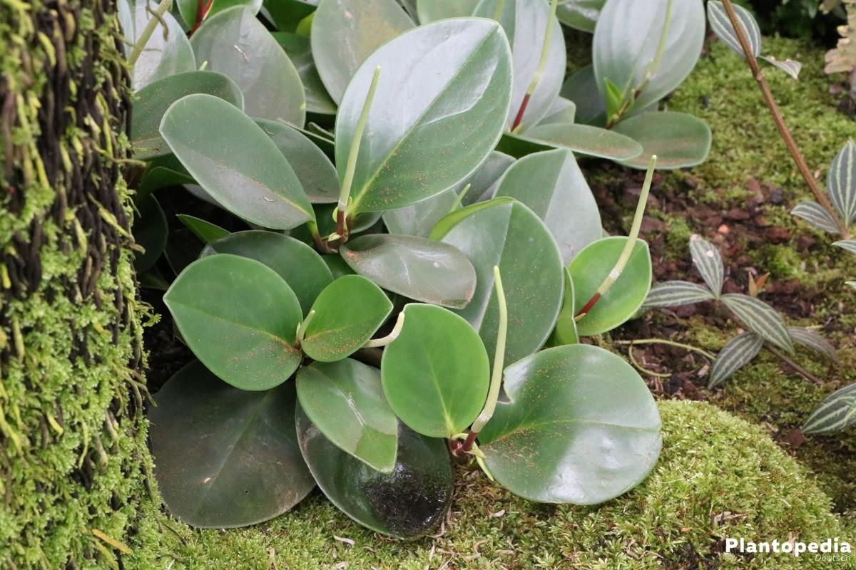Zierpfeffer peperomia obtusifolia pflege und vermehrung for Zimmerpflanzen umpflanzen