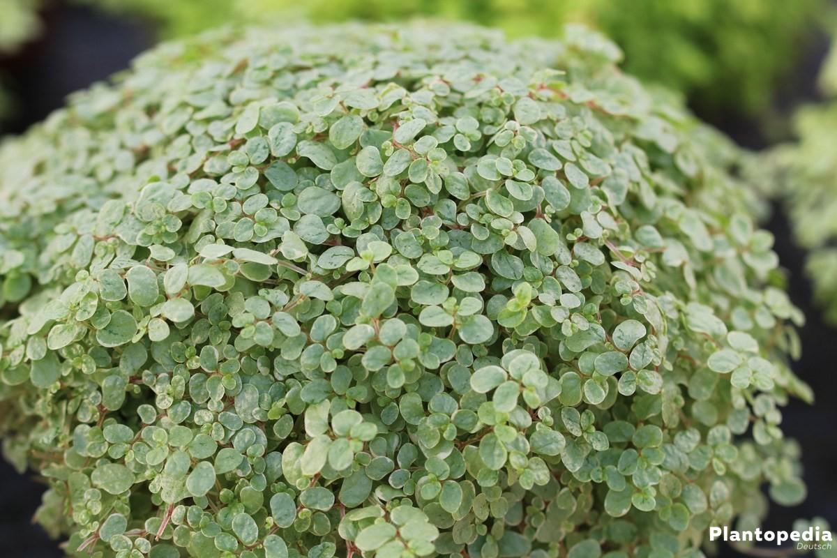 Bubikopf, Soleirolia soleirolii