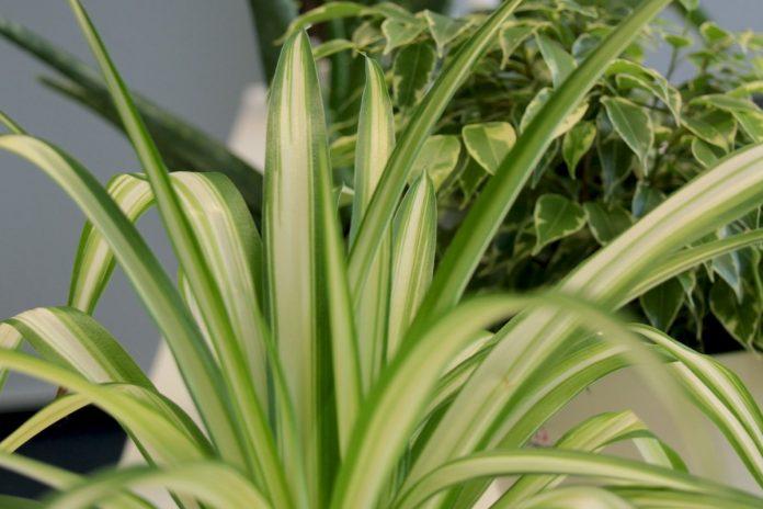 zimmerpflanzen die wenig licht brauchen gr ne und bl hende arten plantopedia. Black Bedroom Furniture Sets. Home Design Ideas