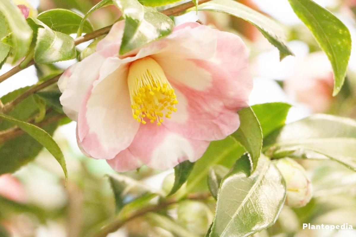 cam lia du japon camellia japonica conseils d 39 entretien. Black Bedroom Furniture Sets. Home Design Ideas