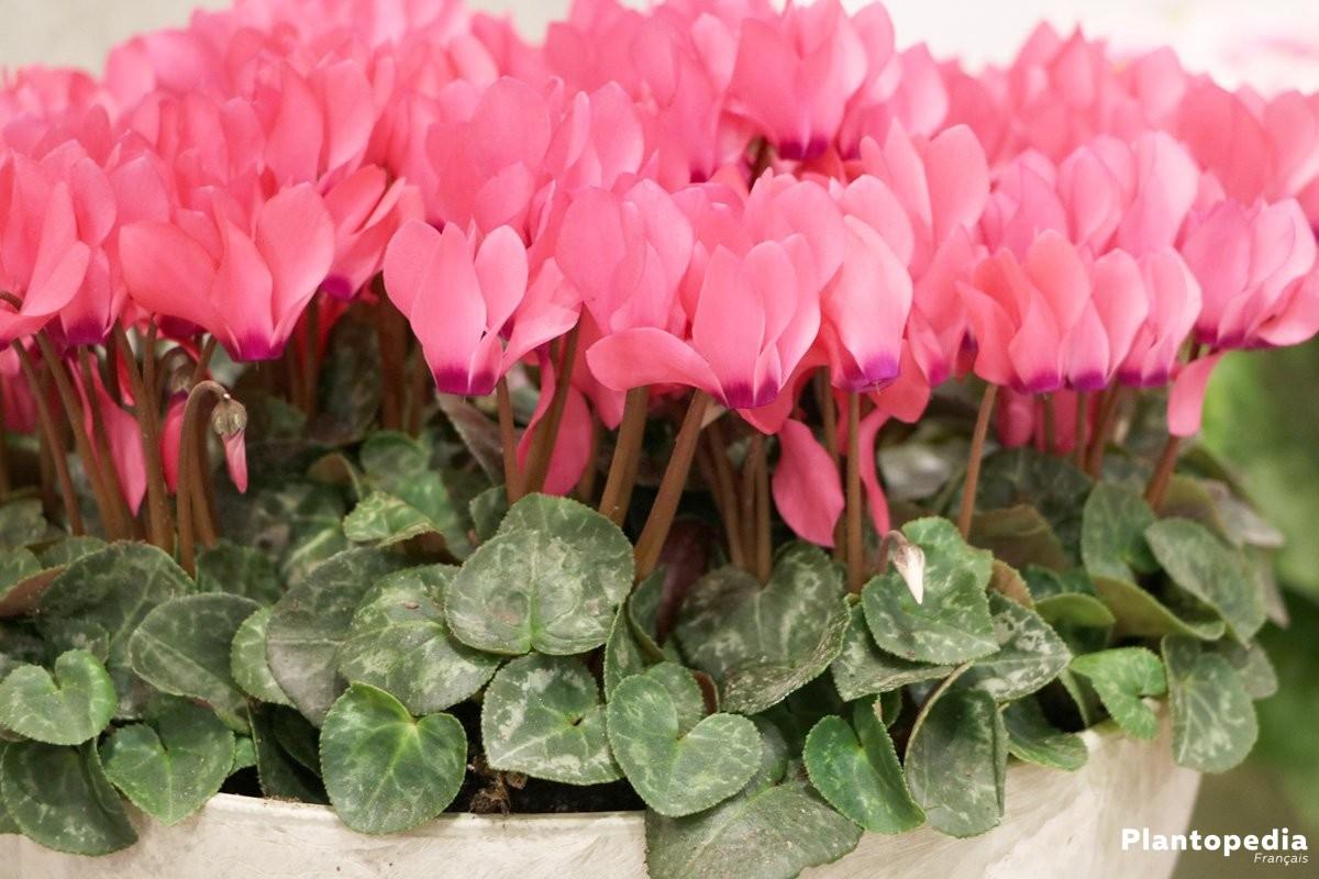 Cyclamen exterieur coupe de plantes cimetire rose et mauve pas cher with cyclamen exterieur - Arrosage cyclamen en pot ...