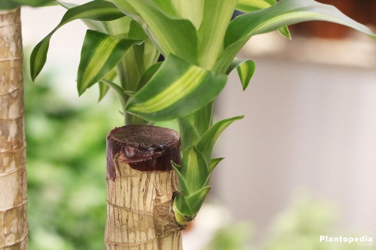 Allium ail d 39 ornement semis plantation et conseils d for Plante 150 maladies madagascar