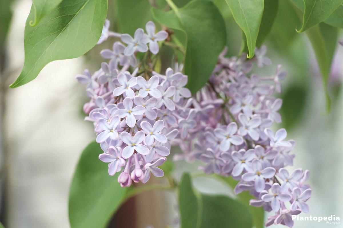 Planter Un Lilas En Pot lilas commun, syringa vulgaris - plantation, taille et