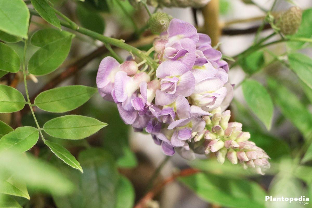 Une Glycine En Pot glycine, wisteria - planter, culture, entretien et taille