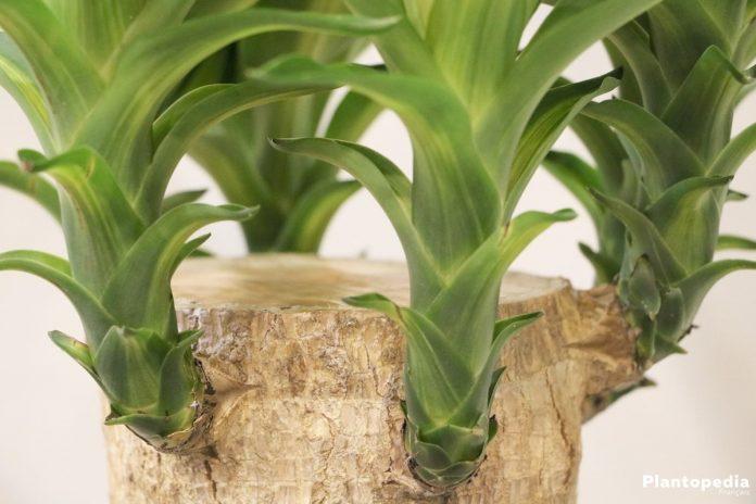 yucca elephantipes interieur arrosage taille et conseils entretien plantopedia