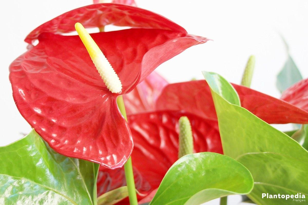 anthurium, langue de feu - conseils d'entretien, arrossage +