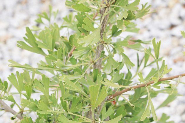 Ginkgo biloba Tubifolia
